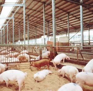 飼育農場と原種豚|いけだ食品株式会社